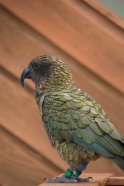A Kea at Mount Luxmore hut