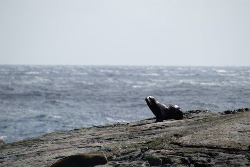 A New Zealand Fur Seal