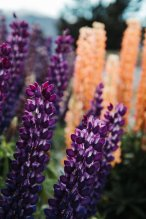 Close ups of the Lupins