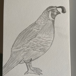 A drawing of a quail