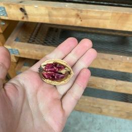 14 Purple walnuts