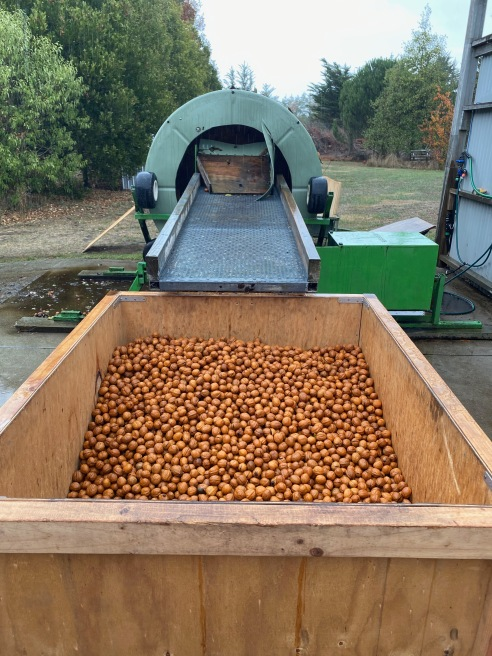 The washed walnuts